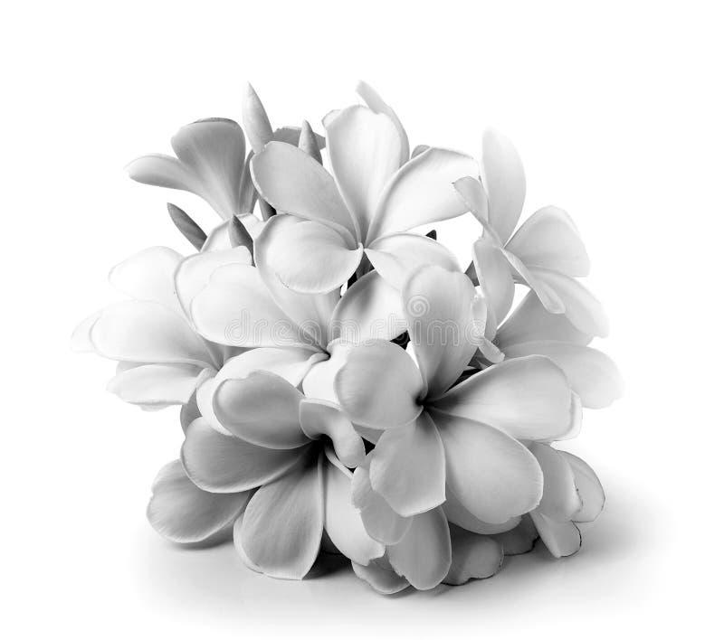 Tropical flowers frangipani (plumeria) black and white royalty free stock photos