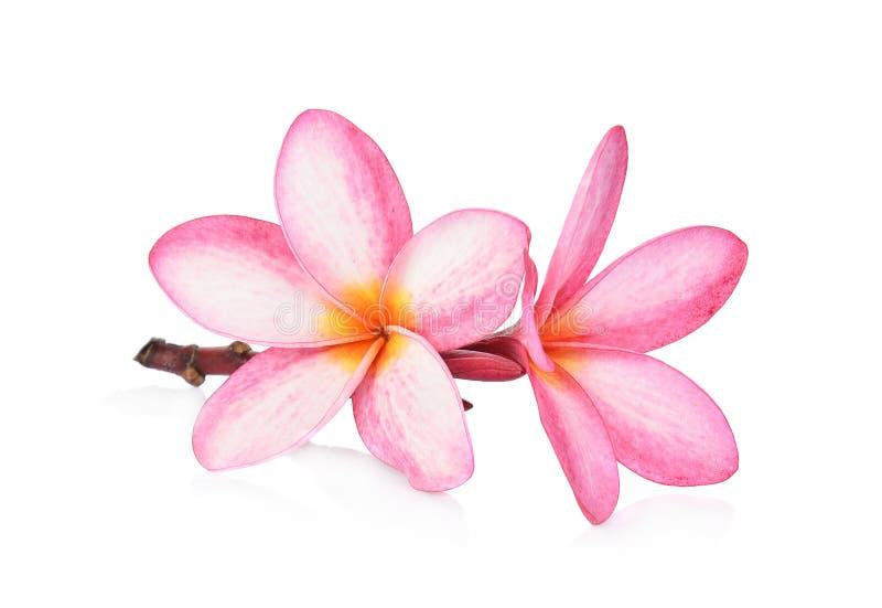 Tropical flowers frangipani plumeria isolated on white backgro royalty free stock image