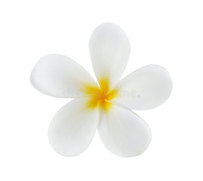 Tropical flowers frangipani (plumeria) stock photos