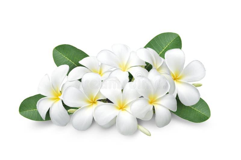 Tropical flowers frangipani plumeria isolated on white background royalty free stock image