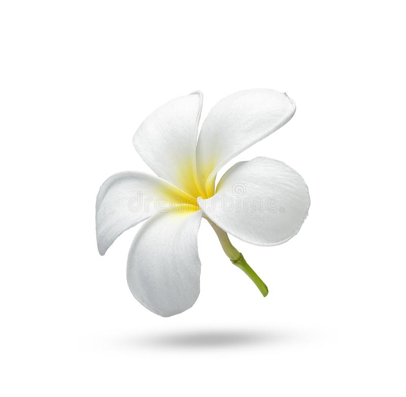 Tropical flowers frangipani plumeria on white background stock images
