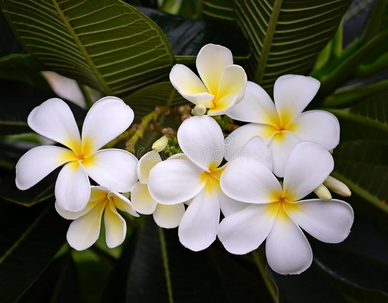 Tropical flowers frangipani royalty free stock image