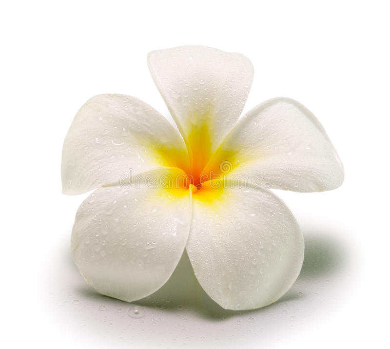 Tropical flowers frangipani on white backgro stock photo image of download tropical flowers frangipani on white backgro stock photo image of design frangipani mightylinksfo
