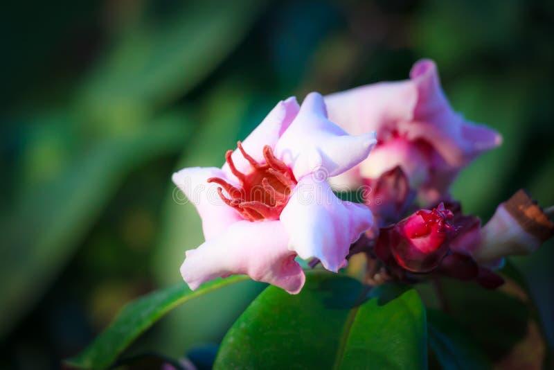 Tropical flowers. Pink tropical flowers (Strophanthus gratus - Wallich & Hook. ex Benth stock photo