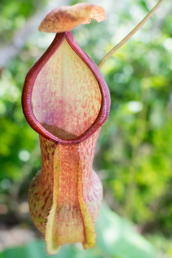 Tropical flytrap pitcher plant, nepenthes species stock images