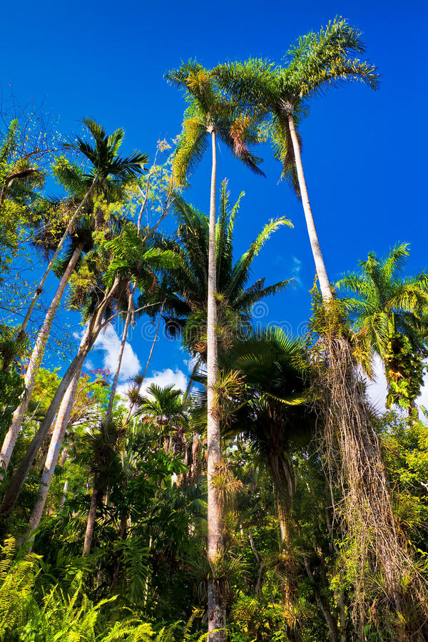 Tropical forest in Cuba. Palm trees and other vegetation on a tropical forest in Cuba royalty free stock image
