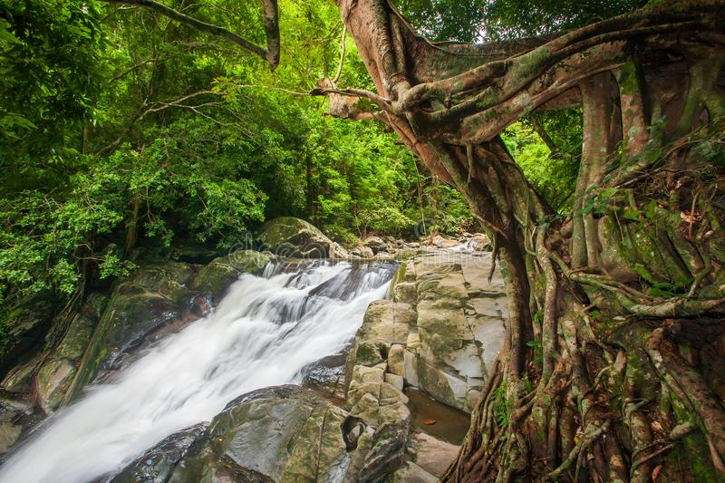 Tropical forest in rainy season, ancient banyan tree with moss and lichen foreground, waterfall background. Rainy season. Pala-U royalty free stock image