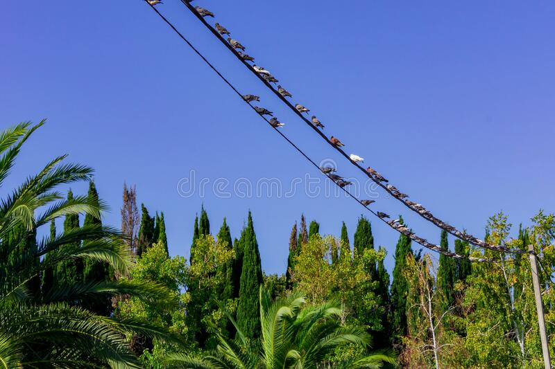 Tropical forest in Sochi, Russia. Pigeons sitting on vires.  royalty free stock image