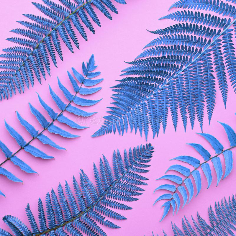 Tropical Fresh Blue Fern Leaves.Nature Background. Creative Tropical Fresh Fern Leaves. Fashion Nature Background. Neon Blue Summer Surreal Design. Bright Pink stock photography