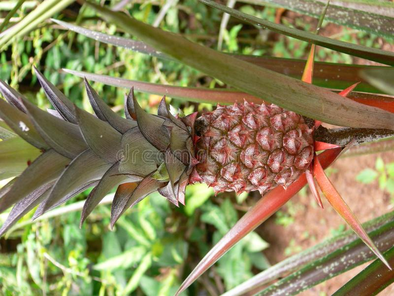 Download Tropical fruit stock image. Image of still, brown, tropics - 1473987