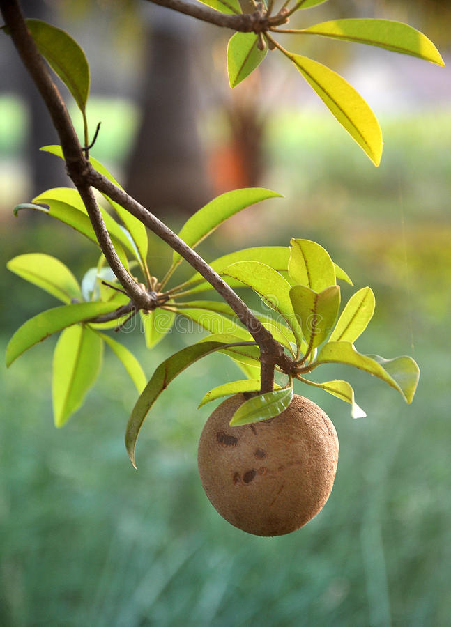 Download Tropical fruit - Chiku stock image. Image of leaves, food - 18478375