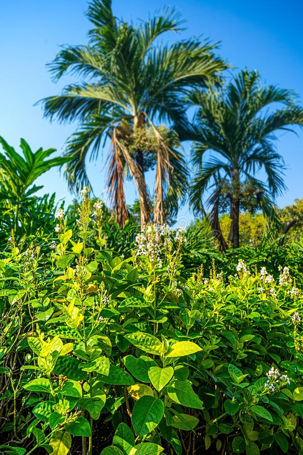 Tropical Garden with Golden Veined Eranthemum or Also Know as Golden El Dorado and Blur Two Palm Tree in Background. And Blue Sky royalty free stock images