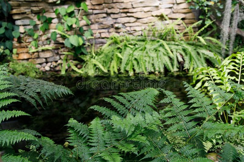 Tropical garden landscape. Fern leaves on the background of water. Tropical garden landscape. Green openwork leaves of fern on the background of water royalty free stock image