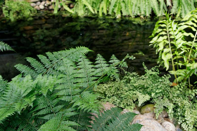 Tropical garden landscape. Fern leaves on the background of water. Tropical garden landscape. Green openwork leaves of fern on the background of water stock photos