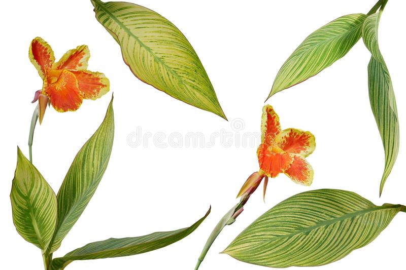 Tropical garden landscaping plant variegated leaves of Canna or royalty free stock photos