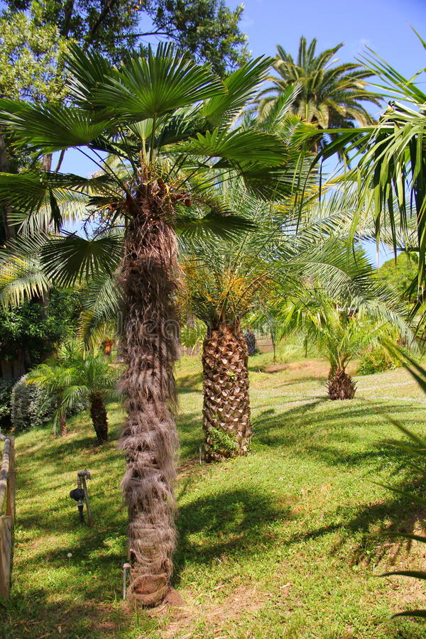 Tropical garden of palm trees. Palm trees of different varieties, species, with different trunks and foliage, branches, fluffy and not, grow on the lawn with stock photo