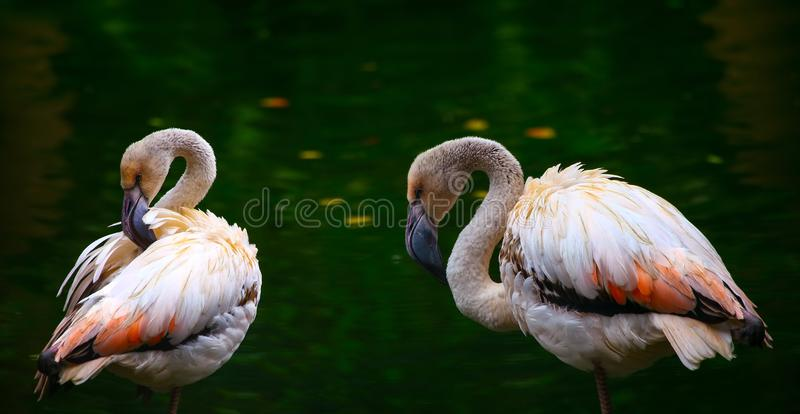 Pair of young pink flamingo birds pruning their feathers stock image