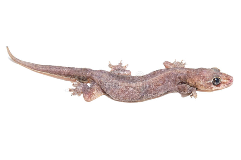 Tropical gecko lizard isolated. On white background stock image