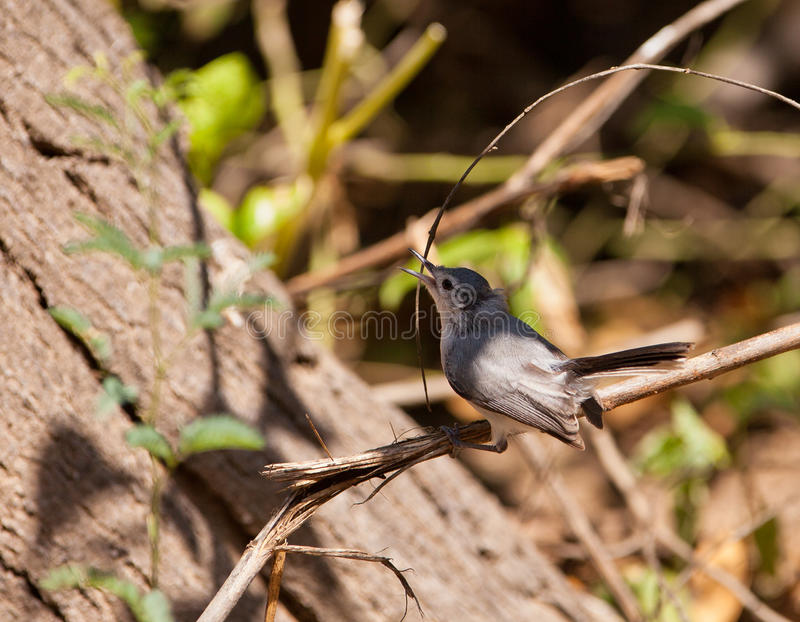 Download Tropical Gnatcatcher stock image. Image of gracile, animals - 25247355