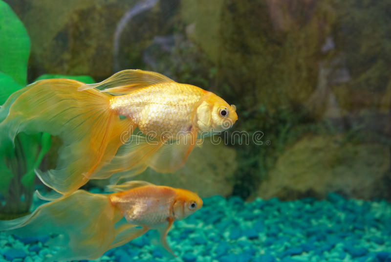 Download Tropical golden fish stock photo. Image of action, house - 10013776