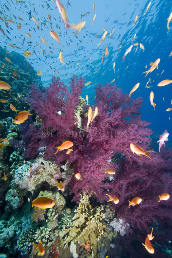 Free Tropical Goldfish And Coral Reef Stock Images - 13865204