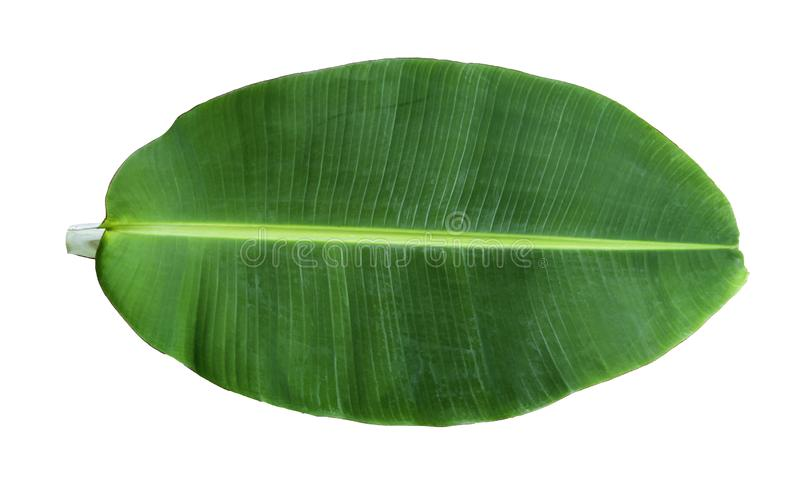 tropical green banana leaf isolated on white background. stock photography