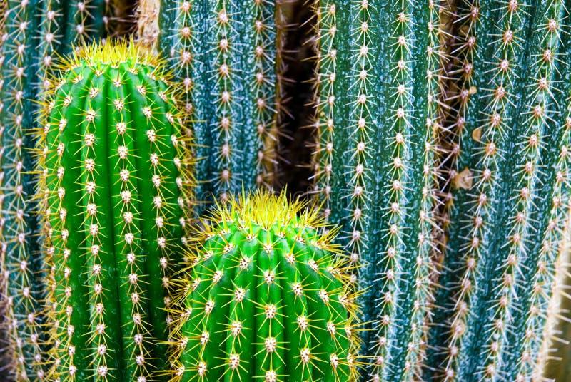 Tropical green cactus - cacti stock photography