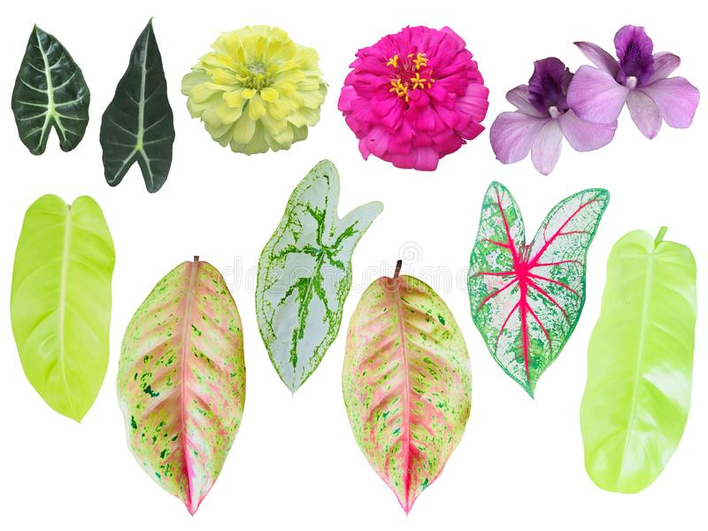 The tropical green and colorful leaves isolated in white background, blooming pink, purple and yellow flowers with clipping path. The tropical green and stock image