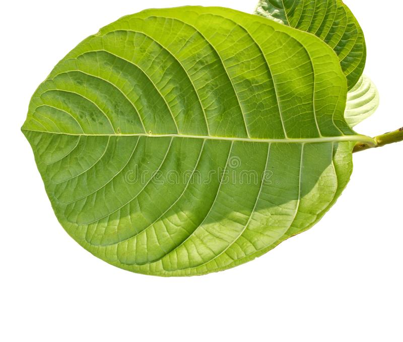 Tropical green foliage with branches isolated on white backgrounds stock illustration