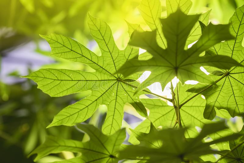 Tropical green leaf close-up wih sunshine, sunlight, transparent foliage, natural texture, exotic colorful background royalty free stock images