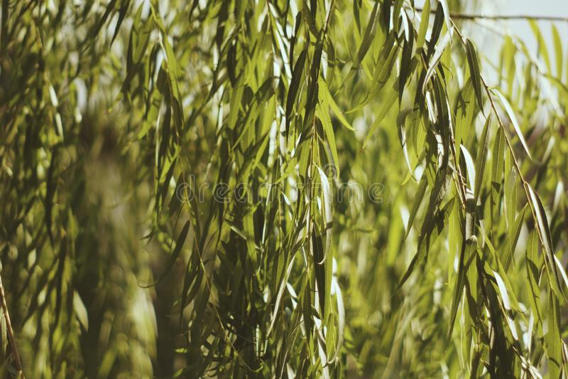 Tropical green leaf in the garden. Liu leaf.  stock photography