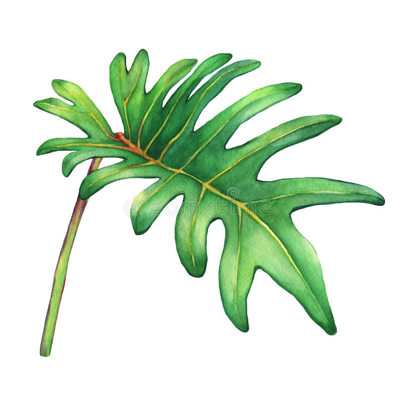 Tropical green leaf of philodendron Xanadu plant. royalty free illustration