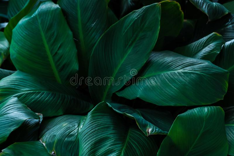 Tropical green leaves background royalty free stock image