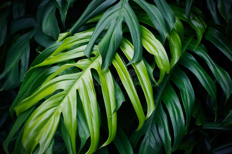 Tropical green leaves, nature summer forest plant royalty free stock photography