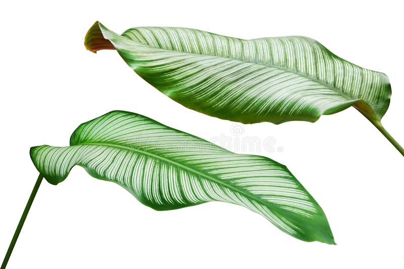 Tropical Green Leaves of Pin Stripe Calathea, Calathea ornata Plant Isolated on White Background stock images