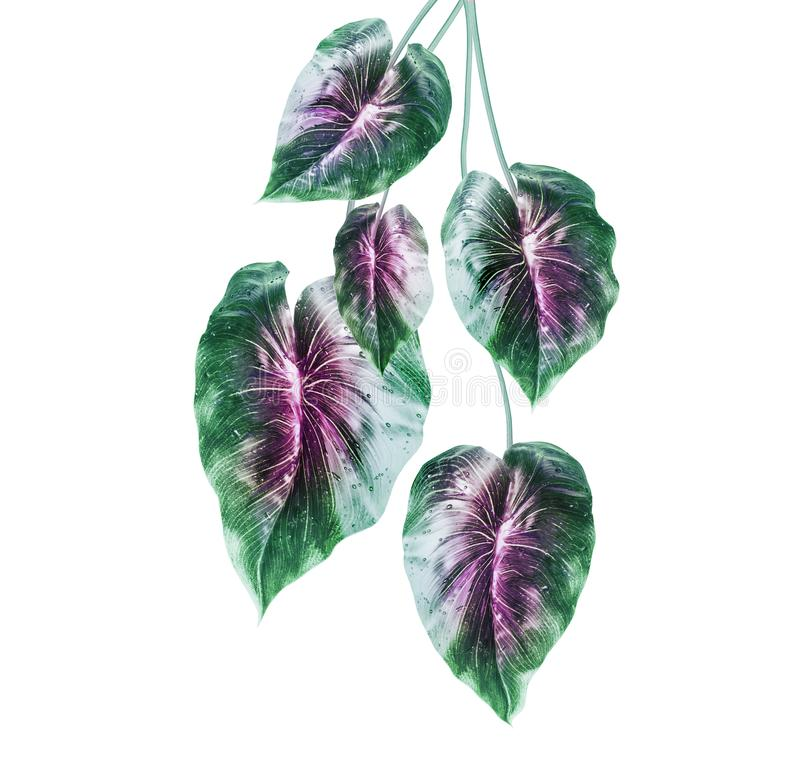 Tropical green leaves with purple middle , isolated on white background. Hanging exotic leaves stock photography