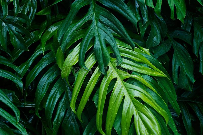 Tropical green leaves after raining, nature summer forest royalty free stock photography