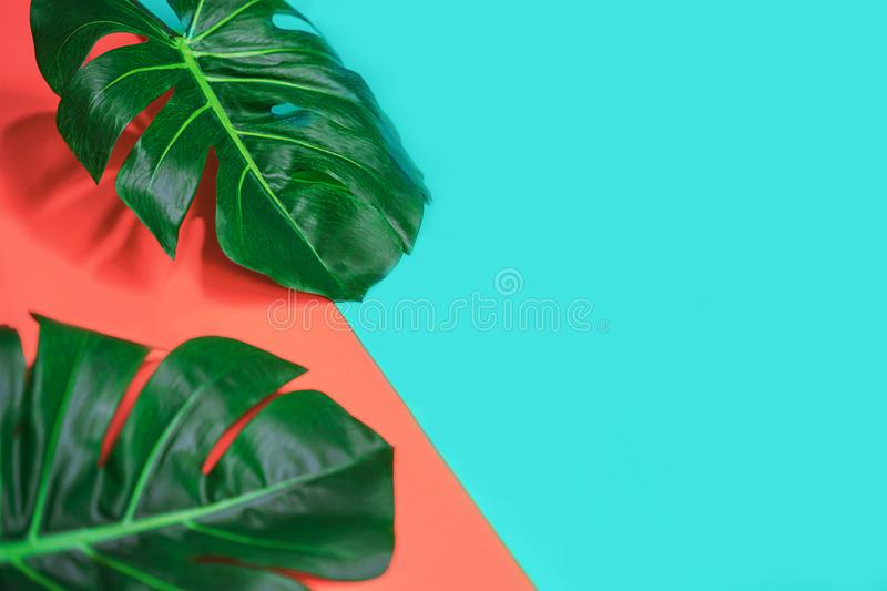 Tropical green palm monstera leaves or swiss cheese plant on pink coral and blue background. Summer exotic neon minimal layout. Flat lay, top view stock images