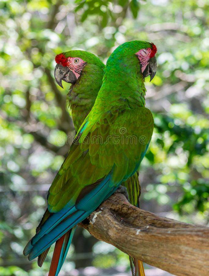 Tropical Green Parrots royalty free stock images