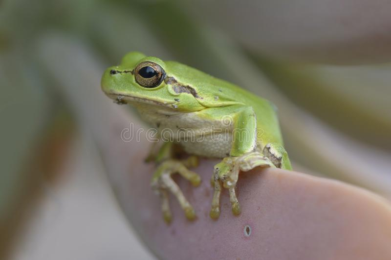 Tropical green tree frog on cactus leaf royalty free stock photo