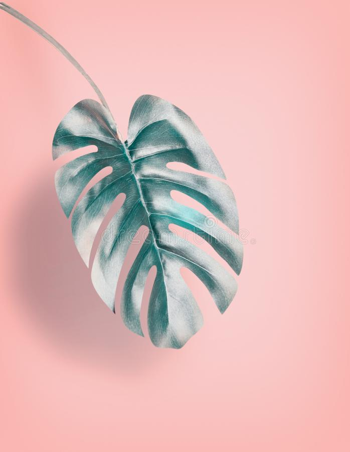 Tropical hanging Monstera leaf at pastel pink background, summer background with copy space. For design royalty free stock image