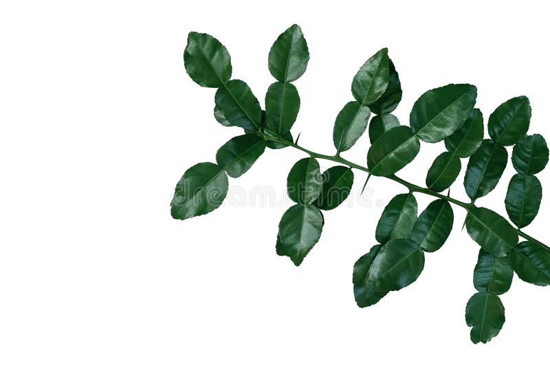 Tropical herbal plant Kaffir lime Citrus hystrix dark green leaves tree twig with thorns isolated on white background, clipping stock image