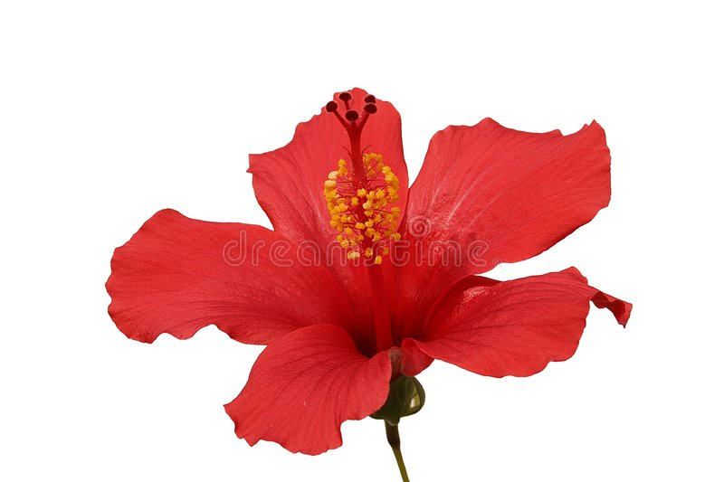 Tropical Hibiscus. Brilliant or San Diego Red, a type of Tropical Hibiscus, in a sunny spot. Phoenix, Arizona, February stock images