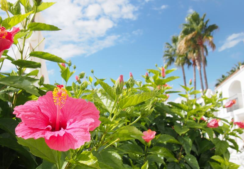 tropical holiday vacation scene with a bright pink hibiscus flower in front of white blurred buildings and palm trees againds a royalty free stock image