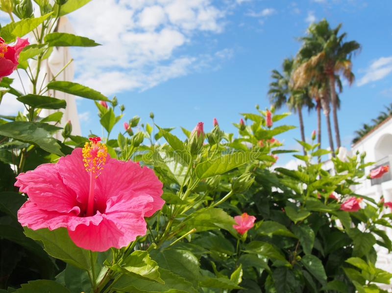 Tropical holiday vacation scene with a bright pink hibiscus flower in front of white blurred buildings and palm trees againds a stock image