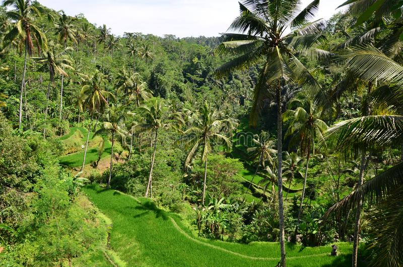 Tropical island scenery - view of the rice fields. In Indonesia stock images