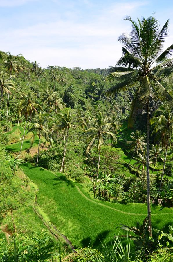 Tropical island scenery - view of the rice fields. In Indonesia stock photos