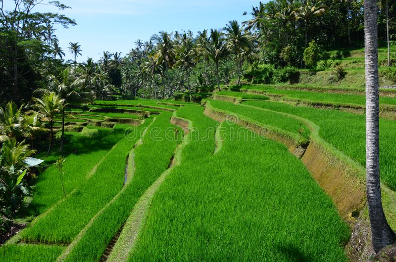 Tropical island scenery - view of the rice fields. In Indonesia stock photo