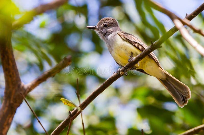 Download Tropical Kingbird stock image. Image of animals, panama - 25390541