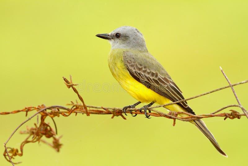 Tropical Kingbird, Tyrannus melancholicus, tropic yellow grey bird form Costa Rica. Bird sitting on barbed wire, clear background. royalty free stock photo